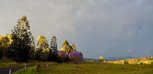 road trees light sun clouds landscape countryside illumination australia nsw jacaranda cloudscape lateafternoon floweringtrees poststorm stormlight stormscape bunyapine northernrivers hooppine sunlightthroughclouds cawongla leycestercreekvalley