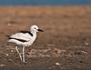 Crab-plover  #105 by Ramakrishnan R - my experiments with light