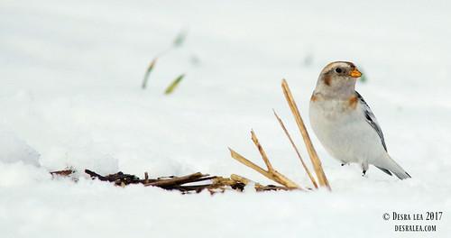Snow Bunting 3.19.17