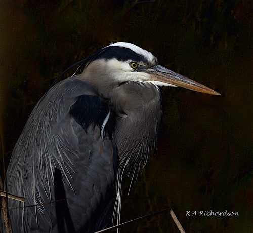 Great Blue Heron - 7 - soty17 | by keithricflick