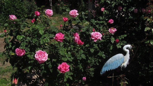 IMG_2143 perfume delight roses blue heron statue