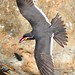 Inca Tern with a successful catch