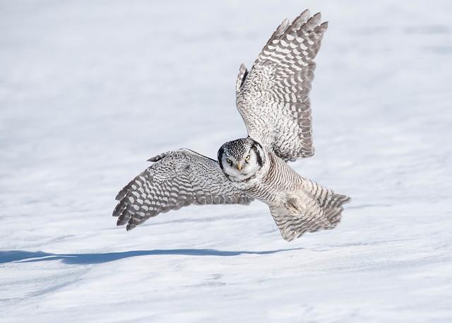 Northern Hawk Owl (3 of 5)