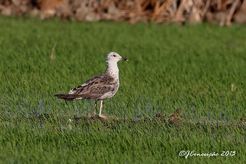 Gaivota de Asa Escura - Larus fuscus - Lesser Black-backed Gull | by jlfconceicao