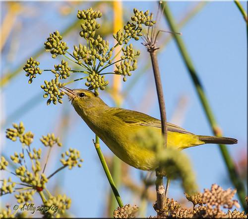 northerncalifornia ngc solanocounty slicesoftime orangecrownedwarblers blinkagain americancanyonbirds2013