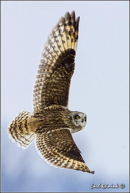 Short-eared Owl (20131214-0102)