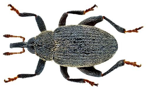 Pseudorchestes pratensis (Germar, 1821) | by urjsa