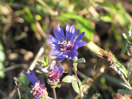 Georgia aster flower. Credit USFWS | by USFWS/Southeast