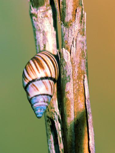 Florida Tree Snail 20170329