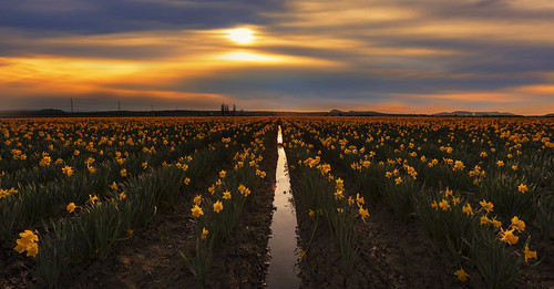 landscape countryside skagitvalley daffodils wa spring