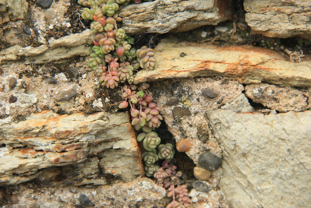 Succulents peeking through the cracks in Conwy's old town walls