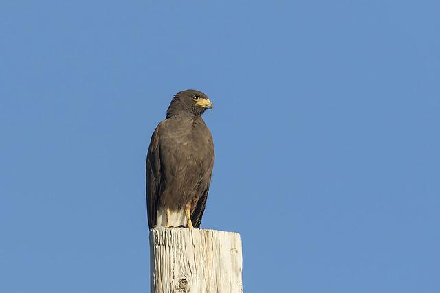 _31A2176 Harris's Hawk