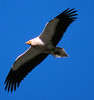Egyptian Vulture by upperwinskill