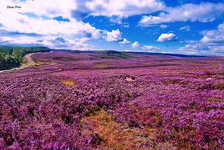 The Yorkshire Moors in August