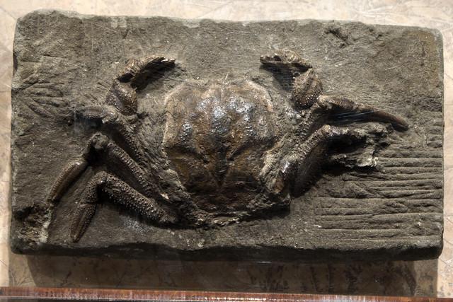 Avitelmessus grapsoideus fossil, McClung Museum, Knoxville, Tennessee