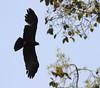 Black Eagle by Thomas.Gut