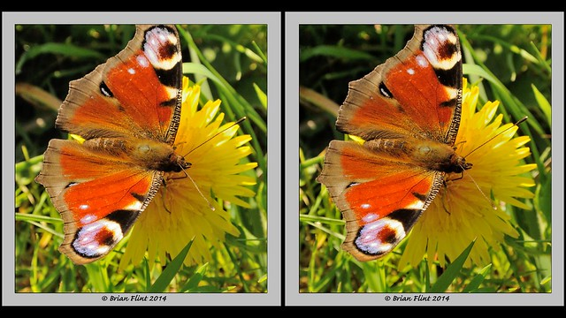 Peacock butterfly on Dandelion flower - 3d crossview