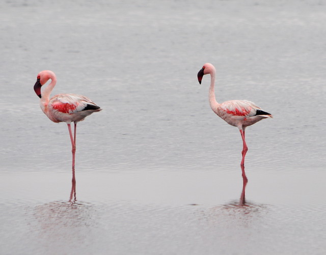 AFRICAN GREATER FLAMINGOS  -    WALVIS BAY,   NAMIBIA,  AFRICA
