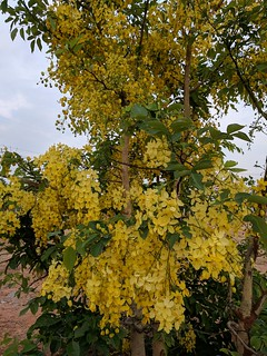Indian Laburnum or the Golden shower. (Kakke in Kannada). | by Hari Prasad Nadig