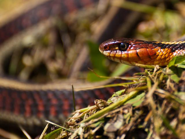 Red-Sided Garter Snake 1