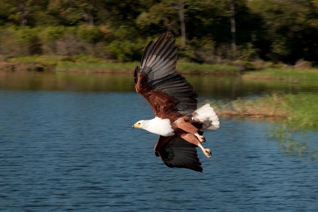 Fish Eagle , Haliaeetus vocifer, Zambezi River, Zimbabwe
