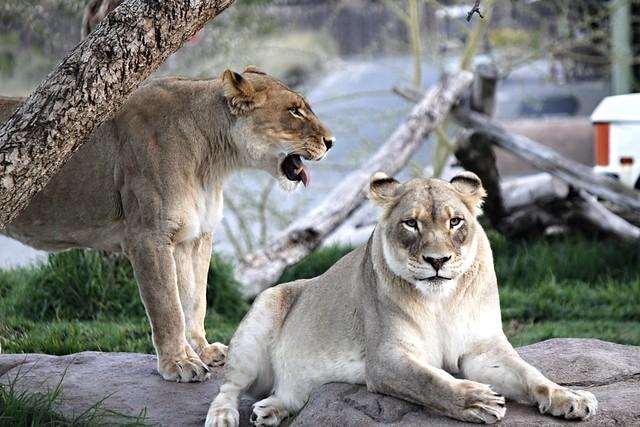 African Lions - Oshana Mina