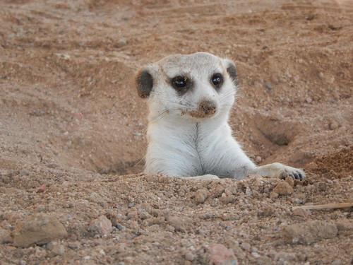 Brandberg - suricate 1