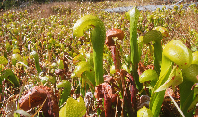 Field of California Pitcher Plants (Darlingtonia californica), PCT, California