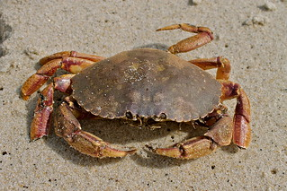 Jonah crab | by U. S. Fish and Wildlife Service - Northeast Region