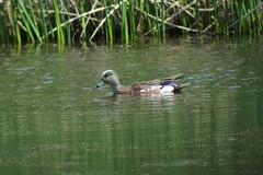 American Wigeon, 6/27/2013, Potter Marsh, Anchorage, AK