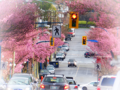 canada spring blossoms vancouverisland sakura victoriabc viewstreet magicunicornverybest