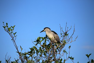 Black Crowned Night Heron | by cuatrok77