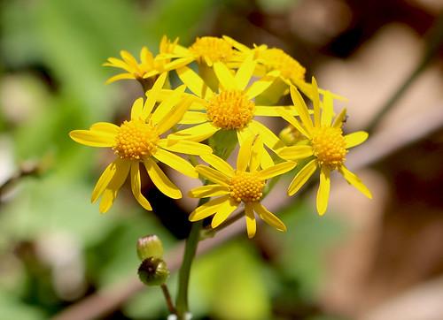 Photo of golden ragwort flowers