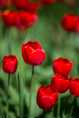 Springtime with red tulips