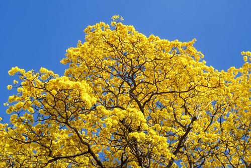 guayacán araguaney floramarillo zapatillo zapito robleamarillo cañahuate tajibo tabebuiachrysantha añaguate cañaguatillo guayacan taelo trumpettree primavera tabebuia goldentree tree yellowtree tabebuiaguayacan