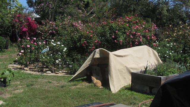IMG_2148 lanky orange cat rose circle covered lettuce box