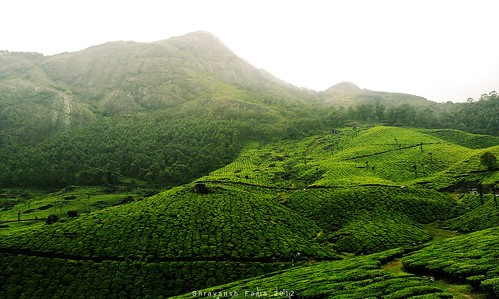 lush green meadows trees tea gardens hills mountains sky landscape nature shades shadows