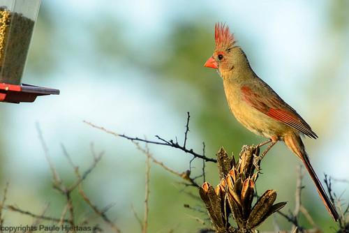 animal arizona bird finch portal songbird usa cardinal female light sunset beige red