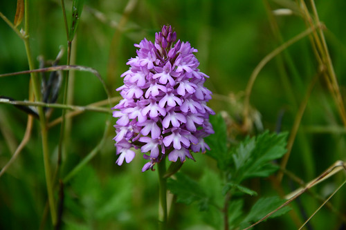 Pyramidal Orchid | by John A King