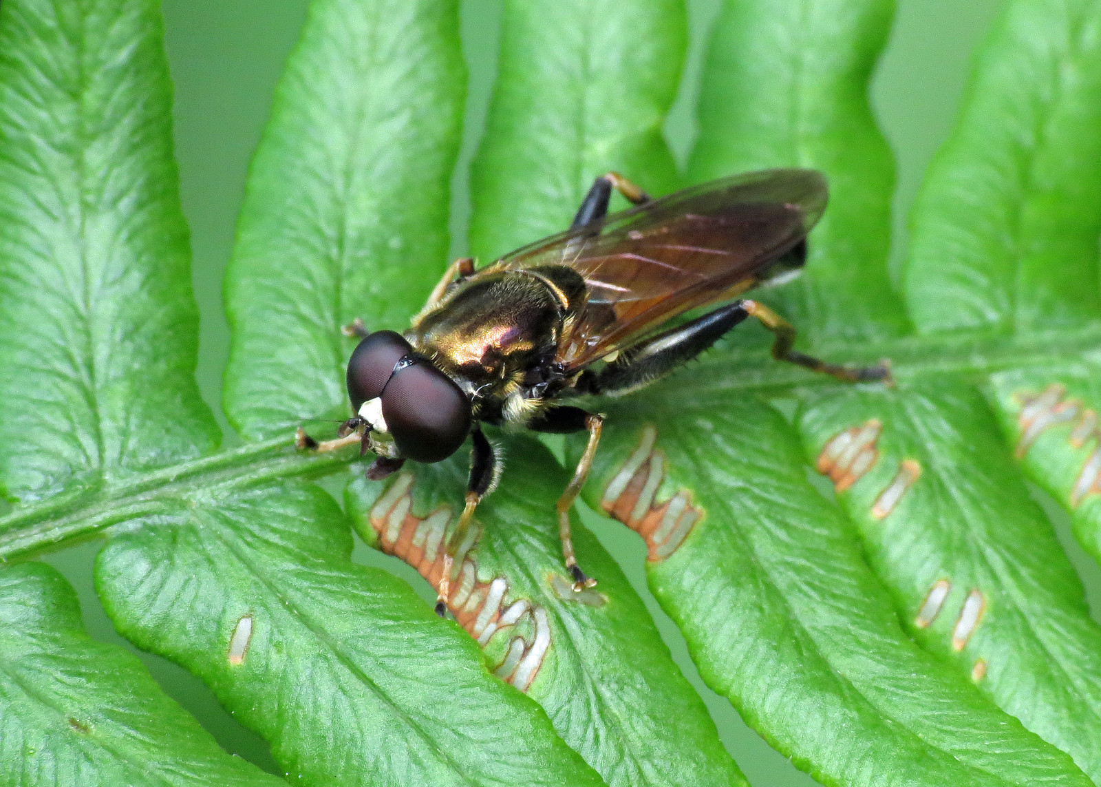 Hoverfly - Syritta pipiens