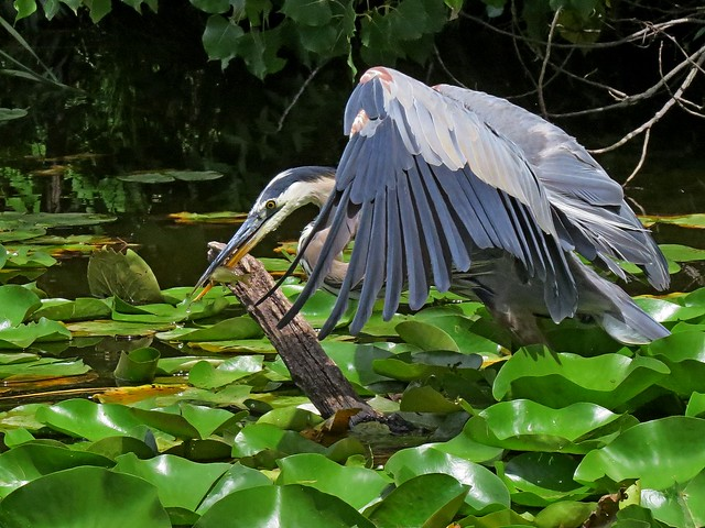 The capture (Great Blue Heron)