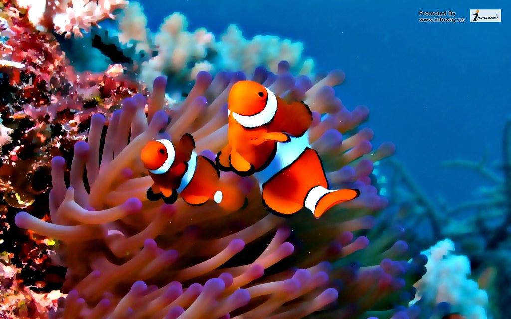 Clown Fish Wallpaper Clown Fish Wallpaper Fecó Koko Flickr