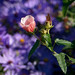 13101 Red on Violet, Dallas Arboretum, Tx