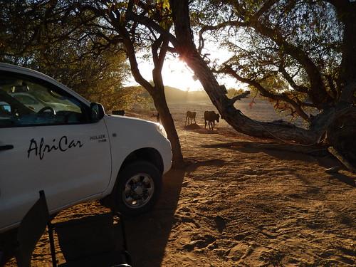 Abu Huab -Koeien langs de camping