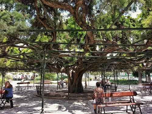 Mexican White Cedar (Cupressus lusitanica), 23 meters in diameter | by rudi.mentair