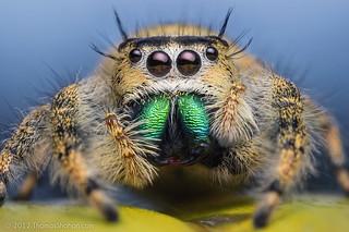 Female Jumping Spider - Phidippus workmani - Florida | by Thomas Shahan