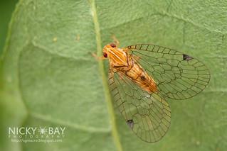Net-Winged Planthopper (Nogodinidae) - DSC_7072