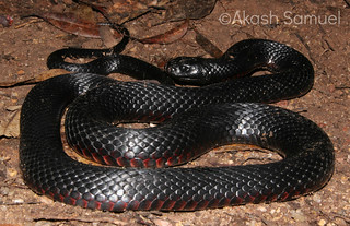Red-bellied Black Snake (Pseudechis porphyriacus) | by Akash Samuel Melbourne