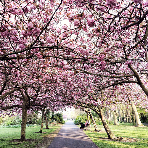 The Best Places to See the Cherry Blossoms in Dublin | by The Art of Exploring