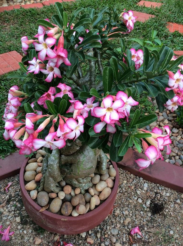 Beautiful Adenium Flower -